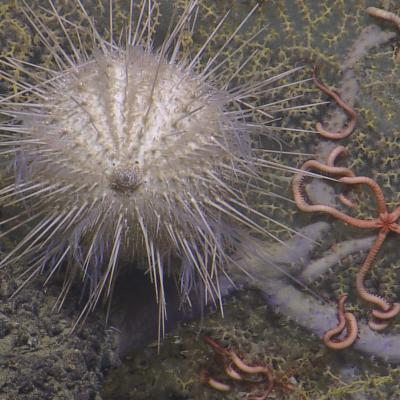 Sea Urchin and Brittle Stars on Coral