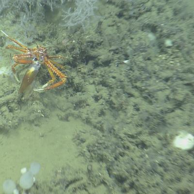 This squat lobster is trying to eat a squid