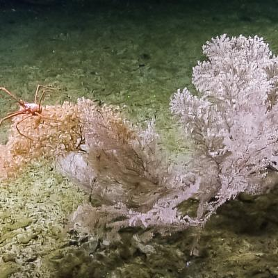 Corals are often referred to as apartment complexes because they provide valuable shelter to a number of different species, including this squat lobster found perched on top of a section of large branching Primnoidae.