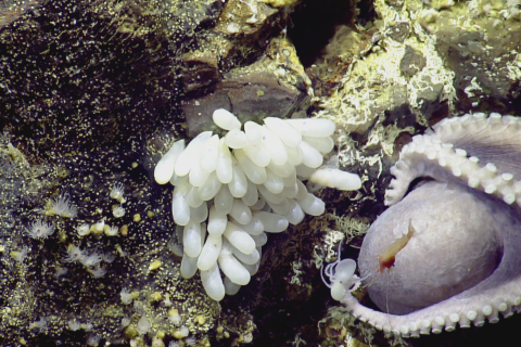 Octopus Eggs In Monterey Bay NMS