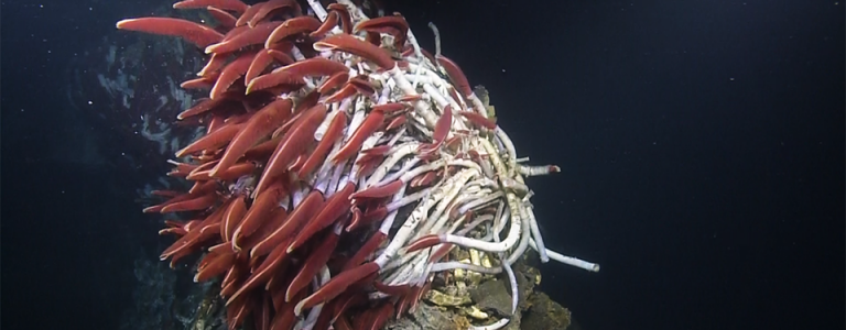 Red tube worms