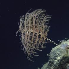 Octocoral