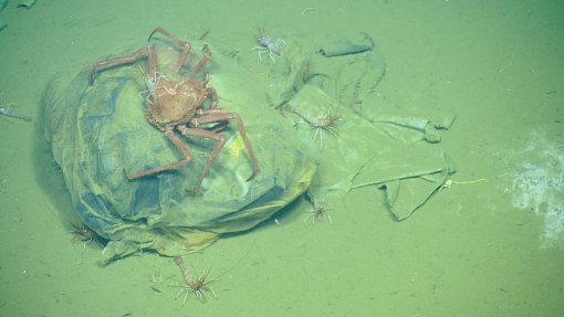 Crab on the seafloor climbing over a trash bag